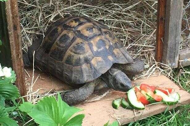 Tartaruga obcecada por sexo foge e vai parar mais de 32 quilômetros de sua residência