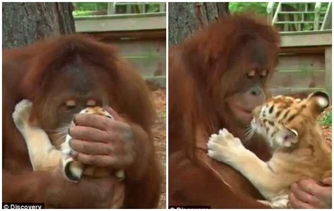 Orangotango se torna sensação após ser flagrado amamentando filhotes de tigre