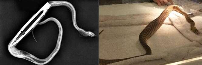 Cobra píton engole utensílio de cozinha enquanto dono a alimentava