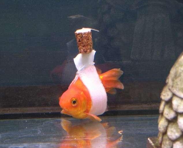 Dono de peixe com problemas para nadar cria cadeira de rodas para seu companheiro