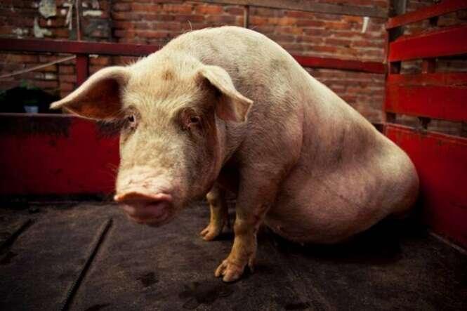 Enorme porco deixa mulher com graves ferimentos após tentar ter relação íntima com ela