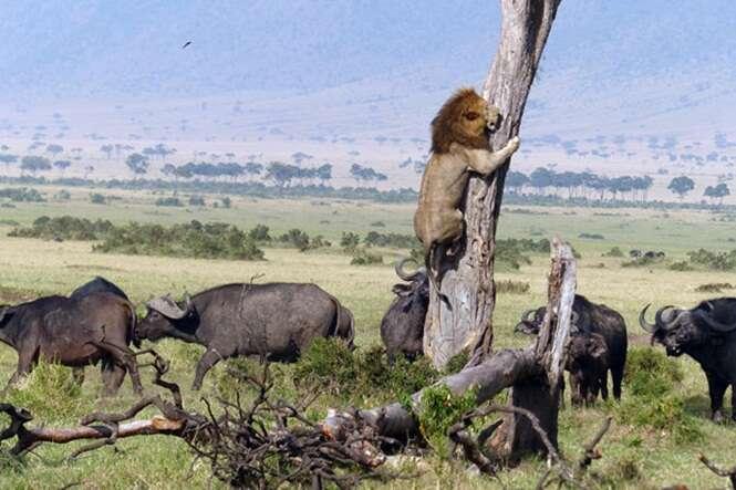 Leão é flagrado subindo em árvore para fugir de manada de búfalos