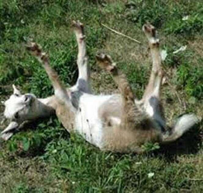 Quatro cabras são hospitalizadas bêbadas e inconscientes