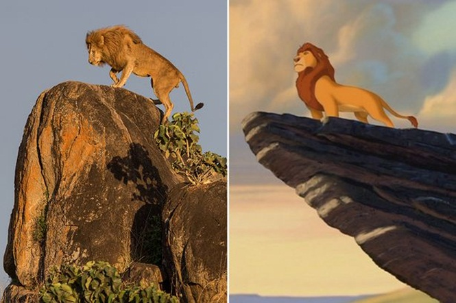 Fotógrafo captura momento incrível de leão sobre pedra que remete ao famoso clássico da Disney
