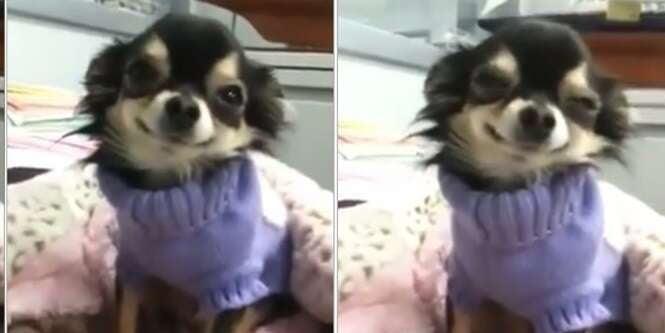 Vídeo de cachorrinho sorrindo enquanto dona conversa com ele se torna viral na internet