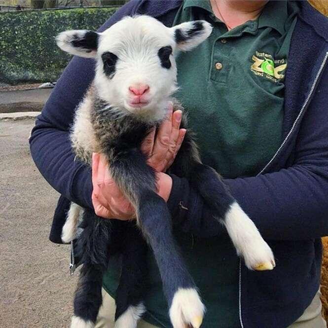 Ovelha nasce com rosto de Panda e chama atenção em zoológico