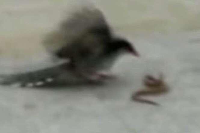 Batalha entre pássaro e cobra se torna viral na web