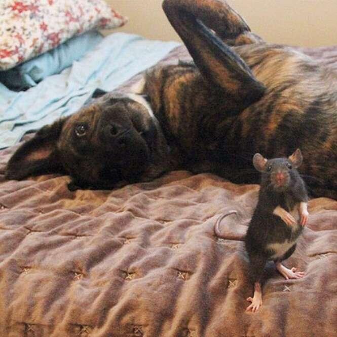 Ratinho se torna companheiro inseparável de cão 100 vezes maior que ele