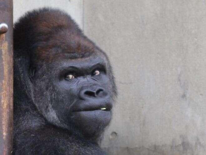 Gorila no auge da forma física atrai diversas mulheres para zoológico