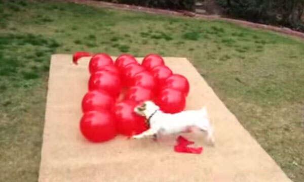 Cão com bexigas