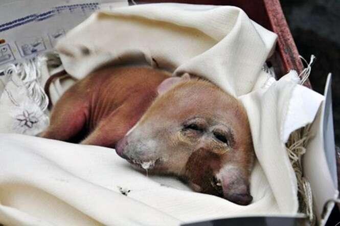 Porco nasce com duas cabeças e atrai visitantes na China
