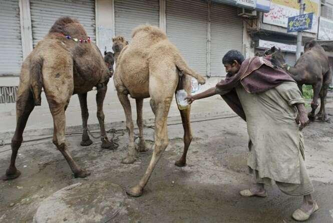 Organização Mundial da Saúde alerta sobre perigo mortal em beber urina de camelo