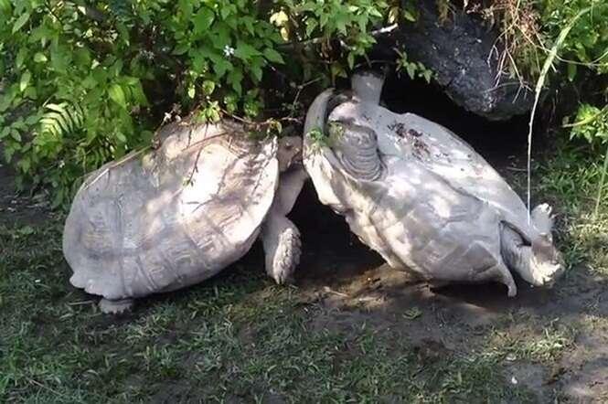 Vídeo impressionante mostra tartaruga ajudando companheira a se desvirar