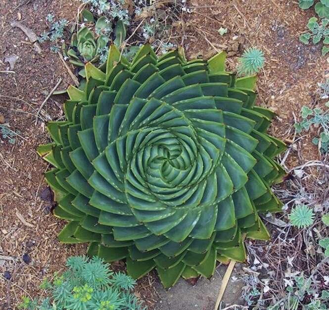 Plantas perfeitamente geométricas