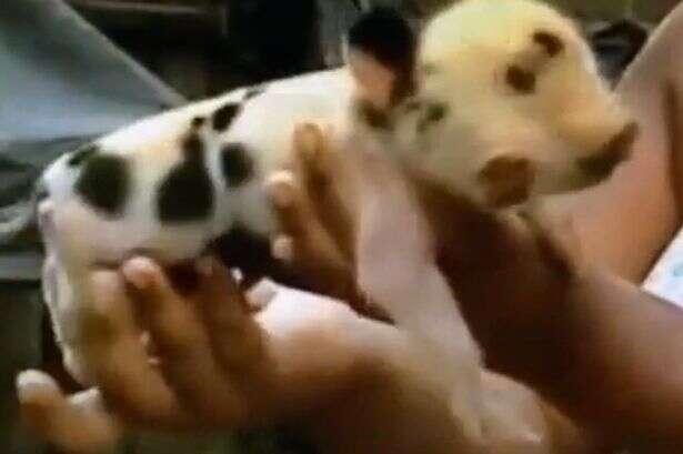 Porco nasce com duas cabeças e três olhos e chama atenção na Colômbia