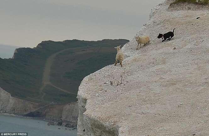 Cão descontrolado mata ovelha ao encurralar animais à beira de penhasco