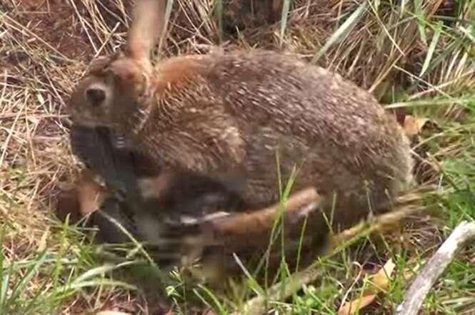 Vídeo de mãe coelha atacando cobra que havia matado um de seus filhotes se torna viral na web