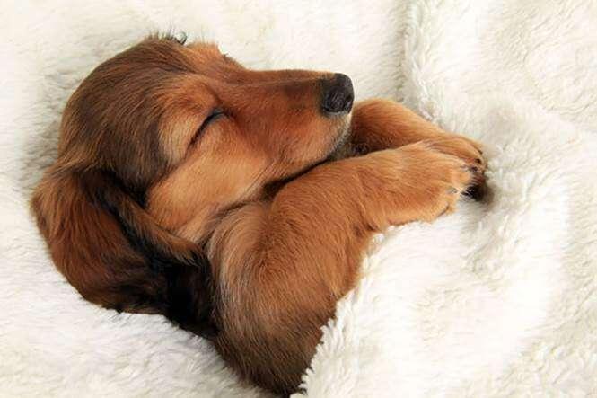 Cães na cama dos donos