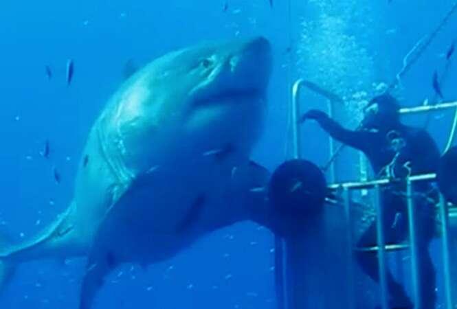Especialista filma um dos maiores tubarões-brancos já vistos e vídeo faz sucesso na internet