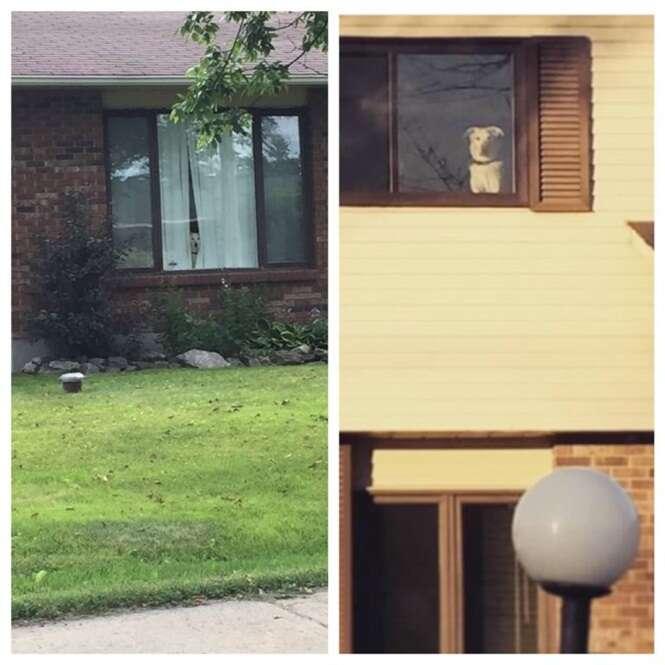 Cão fica todos os dias olhando pela janela de casa à espera do retorno de seu dono
