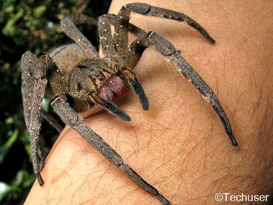 De acordocom estudo, picada de aranha comum no Brasil pode substituir o Viagra
