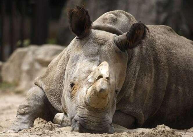 Morre um dos 5 últimos rinocerontes brancos