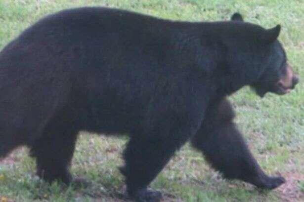 Urso invade padaria e come 38 tortas no local antes de sair do estabelecimento levando mais duas para viagem