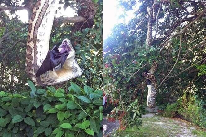Cobra é flagrada devorando maior morcego do mundo em árvore