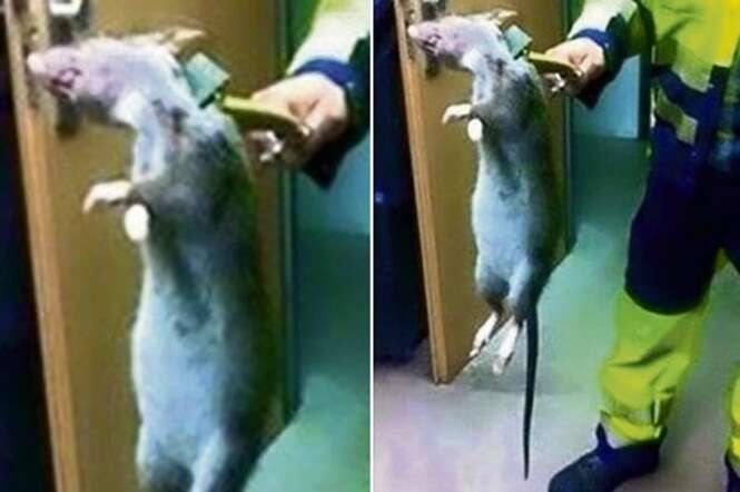 Foto de rato monstro se torna viral após ser publicada no Facebook