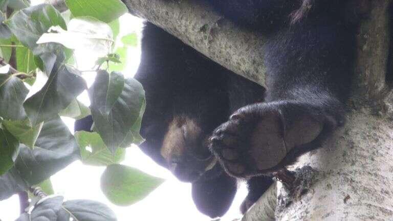 Urso solitário invade zoológico em busca de companhia