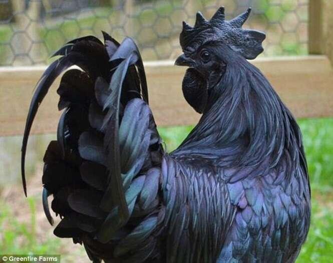 Empresa fatura como nunca vendendo galinha que possui todo o corpo na cor preta
