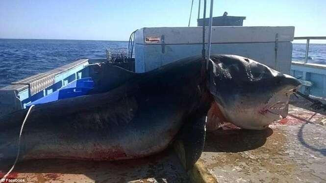 Monstruoso tubarão-tigre é capturado por pescador na Austrália