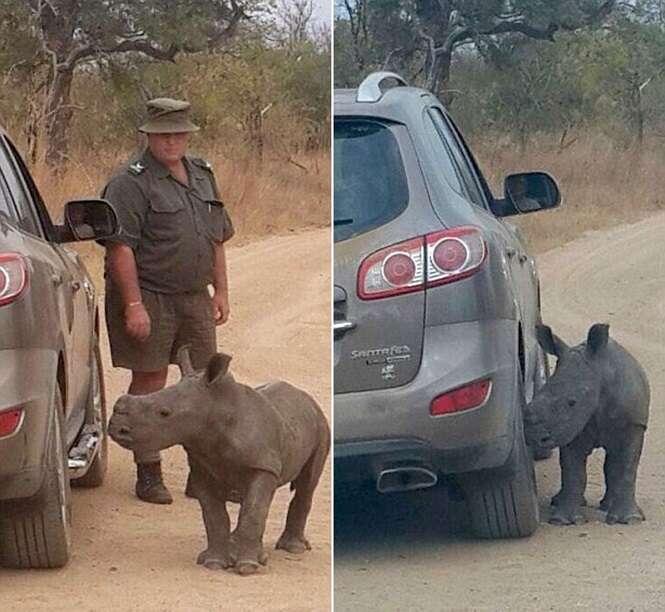 Bebê rinoceronte órfão afaga carro ao confundi-lo com outro rinoceronte