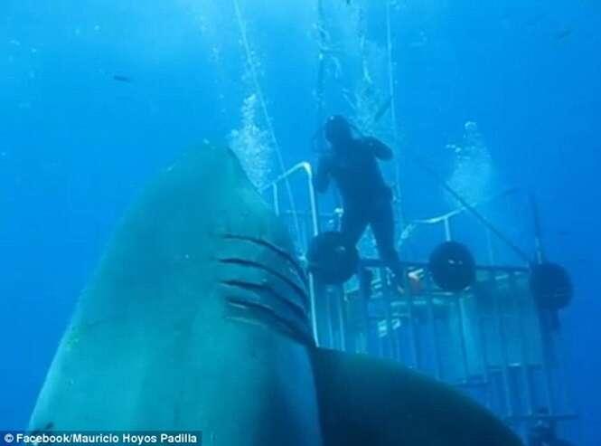 Vídeo flagra enorme tubarão-branco, que se acredita ser o maior de sua espécie