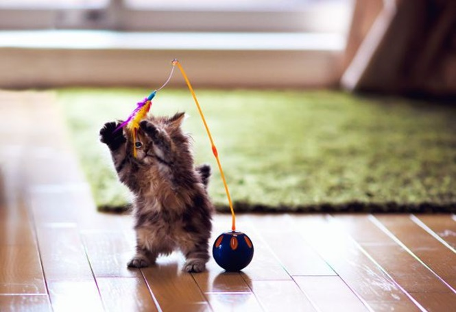 Kitten on hind legs playing with a toy