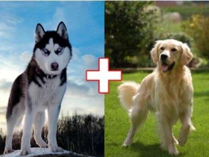 Misturas de raças de cachorro que geraram lindos filhotes