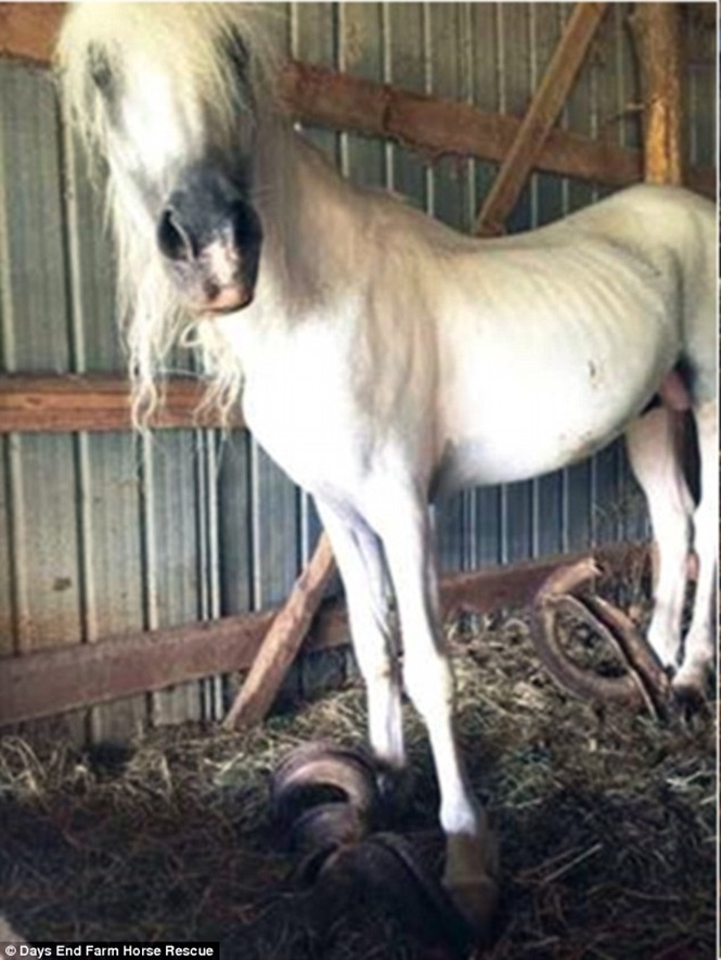 Cavalos negligenciados são encontrados quase mortos