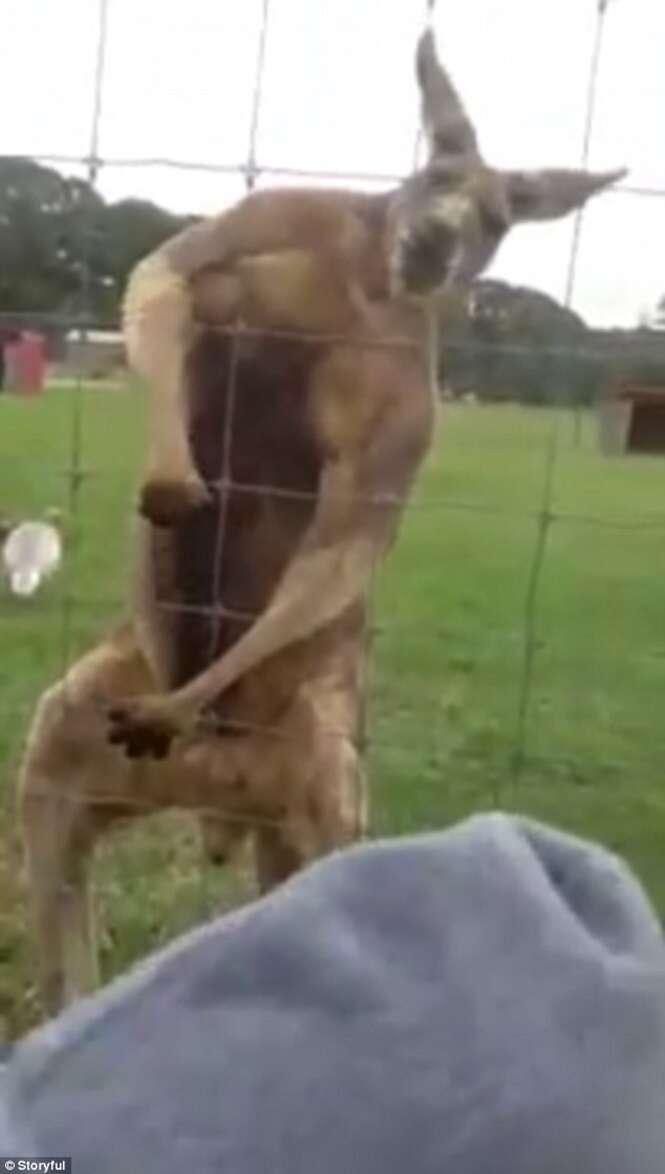 Vídeo mostra canguru bombado fazendo pose para câmera