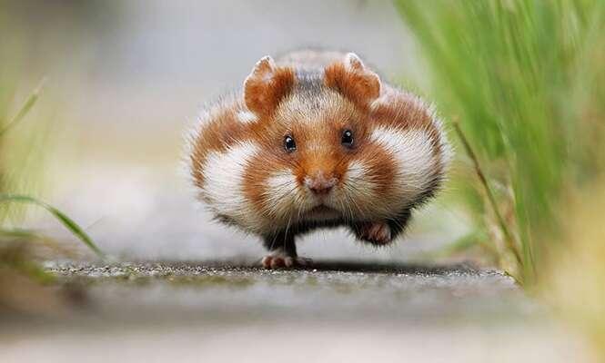 """Adoráveis hamster que traduzem o que é """"fofura"""""""