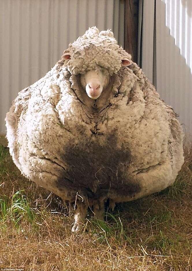 Maior ovelha da Austrália perde mais de 40 quilos após ser tosada