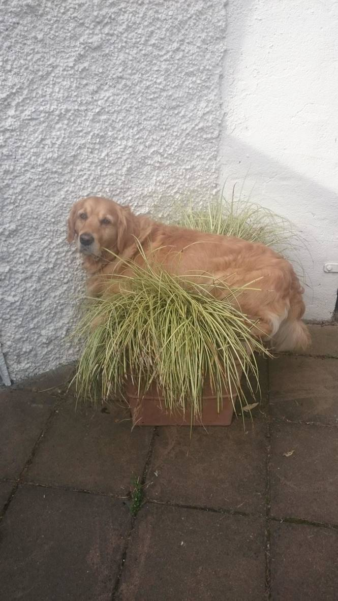 Cão planta