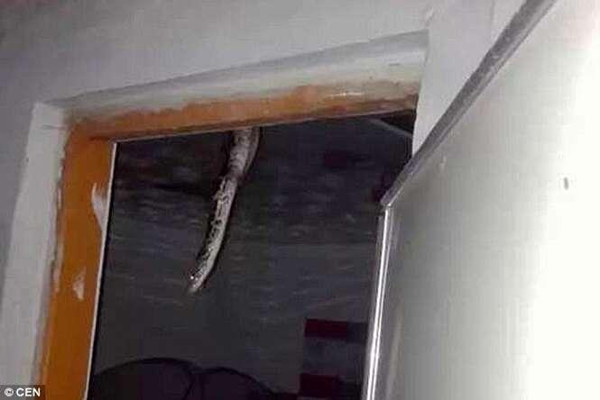 Teto de casa desaba e enorme píton de 90 quilos começa a deslizar para dentro da residência