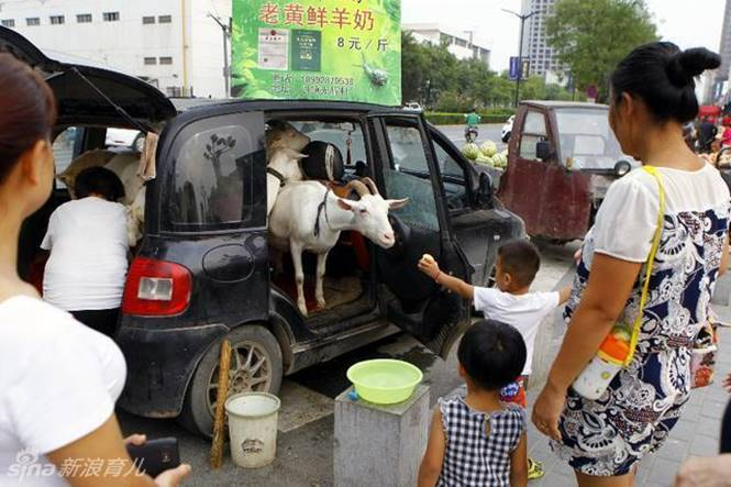 Van cabra