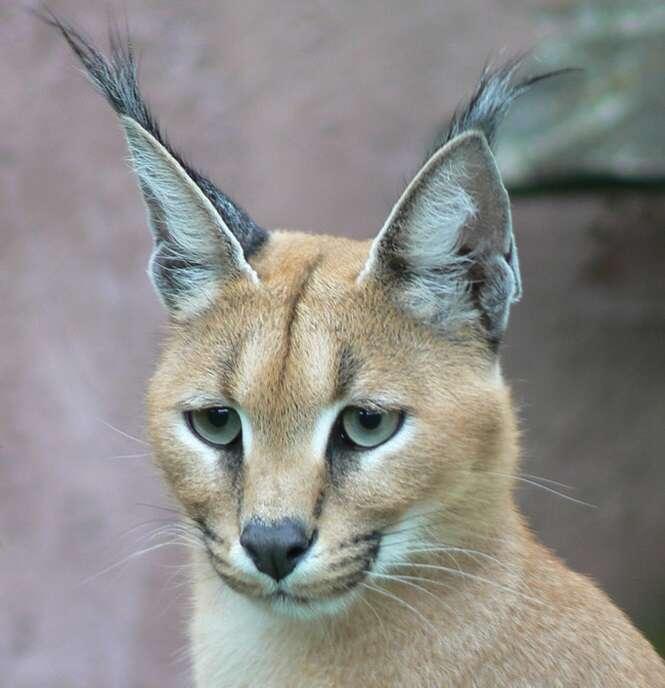 As mais belas imagens de gatos selvagens