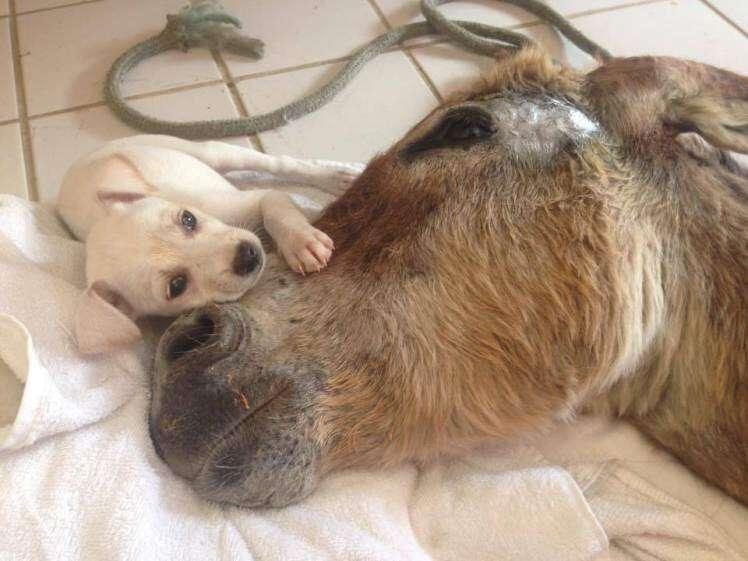 Filhote de cachorro conforta burro atropelado nos seus últimos dias de vida