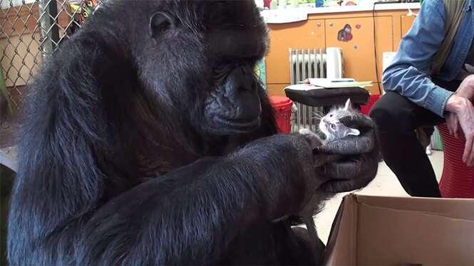 Gorila adota 2 filhotes de gatos depois de ser incapaz de ter filhos