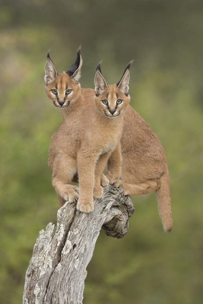 Two Caracals (Felis caracal) sitting on tree stump South Africa