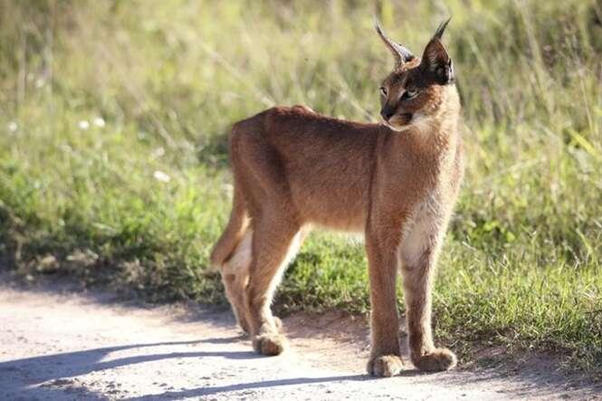 African Lynx or Caracal