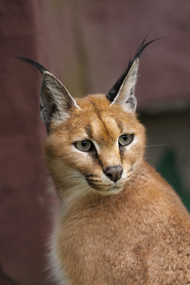 Portrait of a caracal.