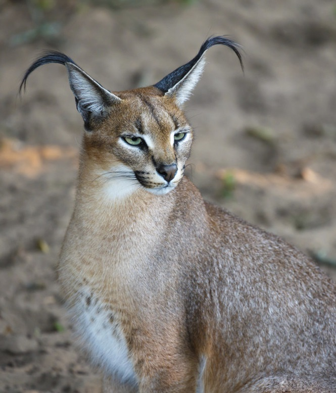 Caracal Wild Cat Portrait
